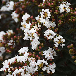 Lagerstroemia Like a Latte