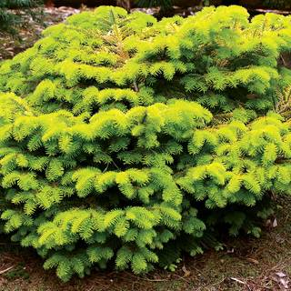 Abies Golden Spreader
