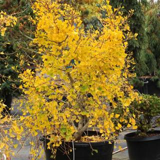 Ginkgo Weeping Wonder