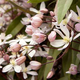 Clematis Apple BlossomImage