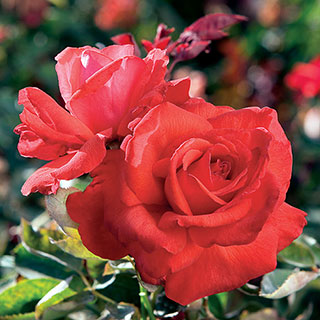 Dolly Parton Rose