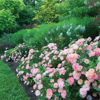 Rosa Peach Drift®