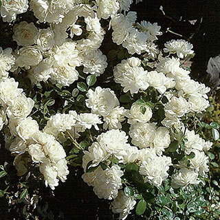Sea Foam Shrub Rose