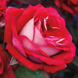 Grateful Heart® Hybrid Tea Rose