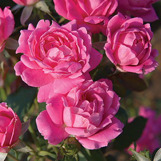 Pink Double Knock Out® Shrub RoseImage