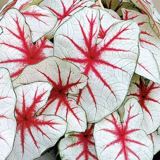 Caladium Fiesta (pack of 5)