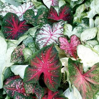 Sun Tolerant Caladium Mix (pack of 5)