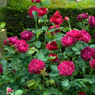 Rosa Darcey Bussell™ Image