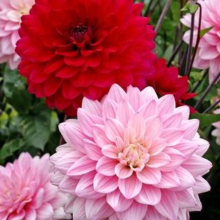 Dahlia Naomi® and Prospero® Mix