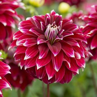 Dahlia Red Rock