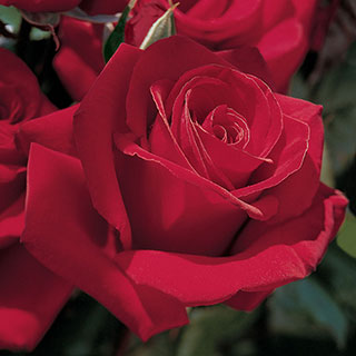 Let Freedom Ring™ Hybrid Tea Rose