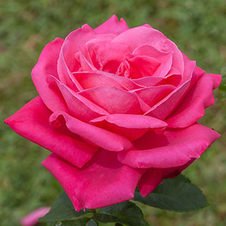 Miss All American Beauty Rose