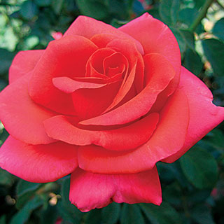 We Salute You™ Hybrid Tea Rose