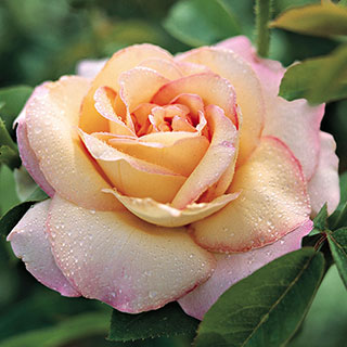 Peace Hybrid Tea Rose