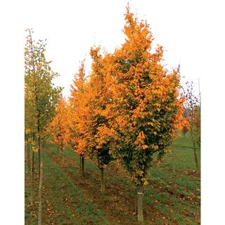 Parrotia Golden Belltower™