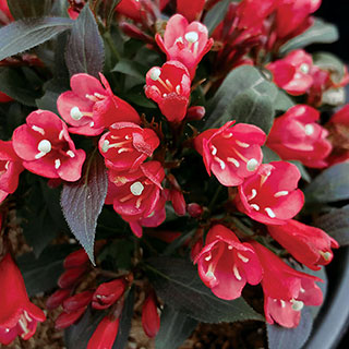 Weigela Electric Love™