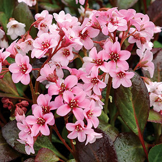 Bergenia Pink DragonflyImage