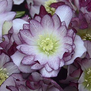Helleborus Wedding Party® Blushing Bridesmaid