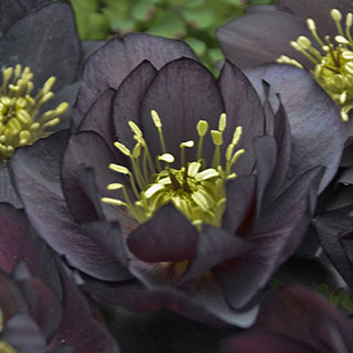 Helleborus Wedding Party™ Dark and Handsome