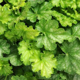 Heuchera Little Cuties™ Shimmer