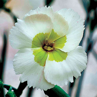Dianthus American Pie® Key Lime Pie