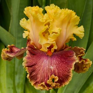 Iris germanica Decadence