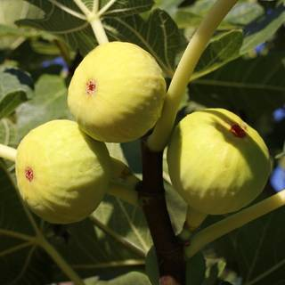 Yellow Long Neck Fig
