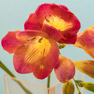 Freesia Red BeautyImage