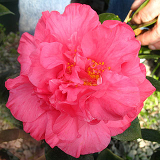 Camellia Touchdown