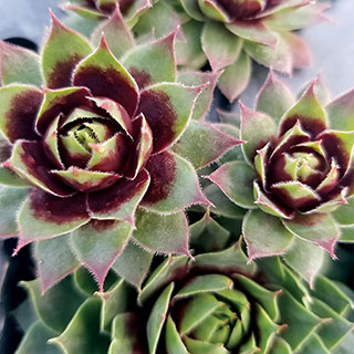 Sempervivum Killer