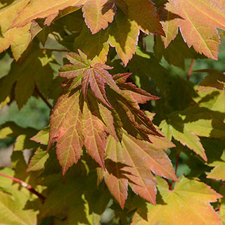 Acer cicinatum Pacific Fire