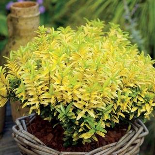 Euonymus Happiness