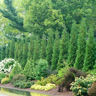 Thuja Full Speed A Hedge® American Pillar