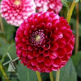 Dahlia Little William