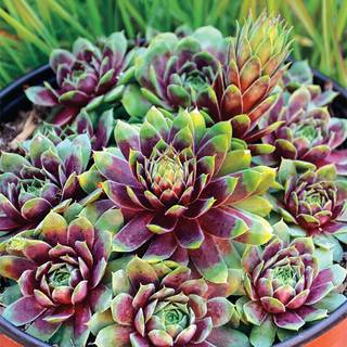 Shop All Sempervivum (Hens & Chicks)
