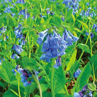 Mertensia Virginia Bluebells