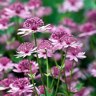 Astrantia major var. rosea