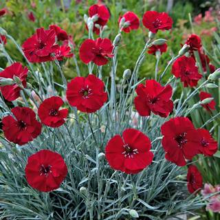 Shop All Dianthus (Carnation)