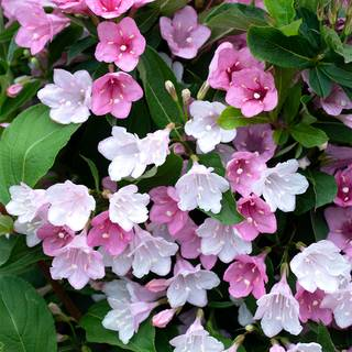 Weigela TOWERS OF FLOWERS® Apple Blossom