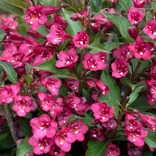 Weigela TOWERS OF FLOWERS® Cherry