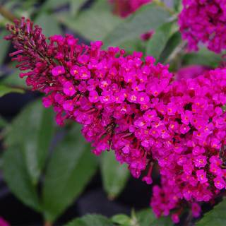 Buddleia BUZZ™ Hot Raspberry