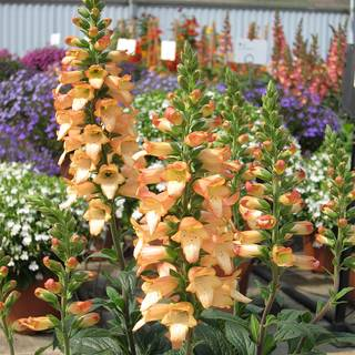 Digitalis ILLUMINATION® Apricot