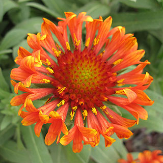 Shop All Gaillardia (Blanket Flower)