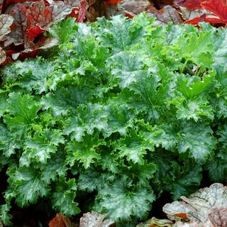 Heuchera Crisp™ Apple Crisp