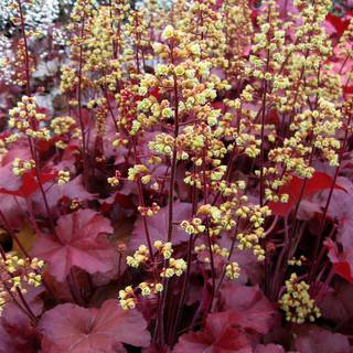 Heuchera Little Cuties™ Blondie