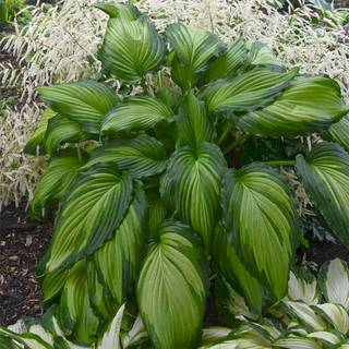 Hosta Angel Falls