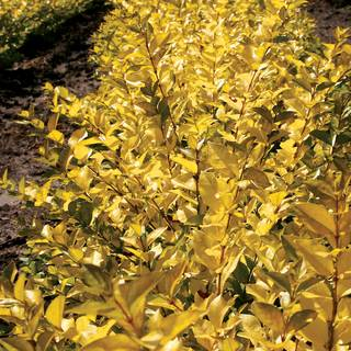 Ligustrum Golden Vicary Privet