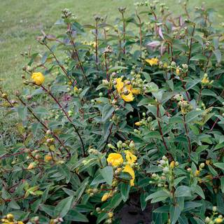 Hypericum Hidcote Gold Cup