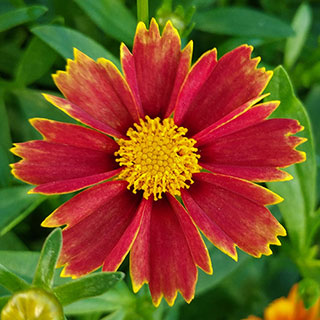 Coreopsis Big Bang™ Enchanted Red