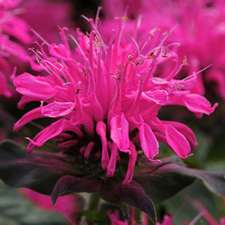 Shop All Monarda (Bee Balm)